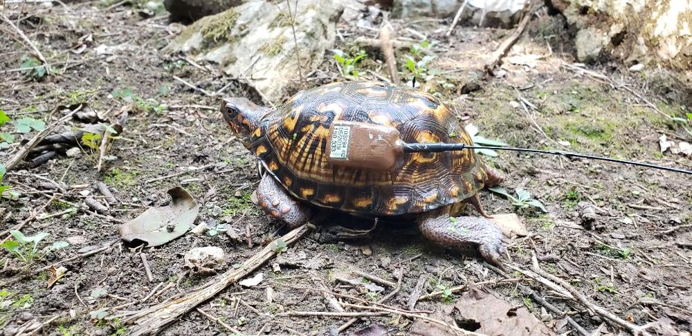 Nashville Biologists Track Eastern Box Turtles