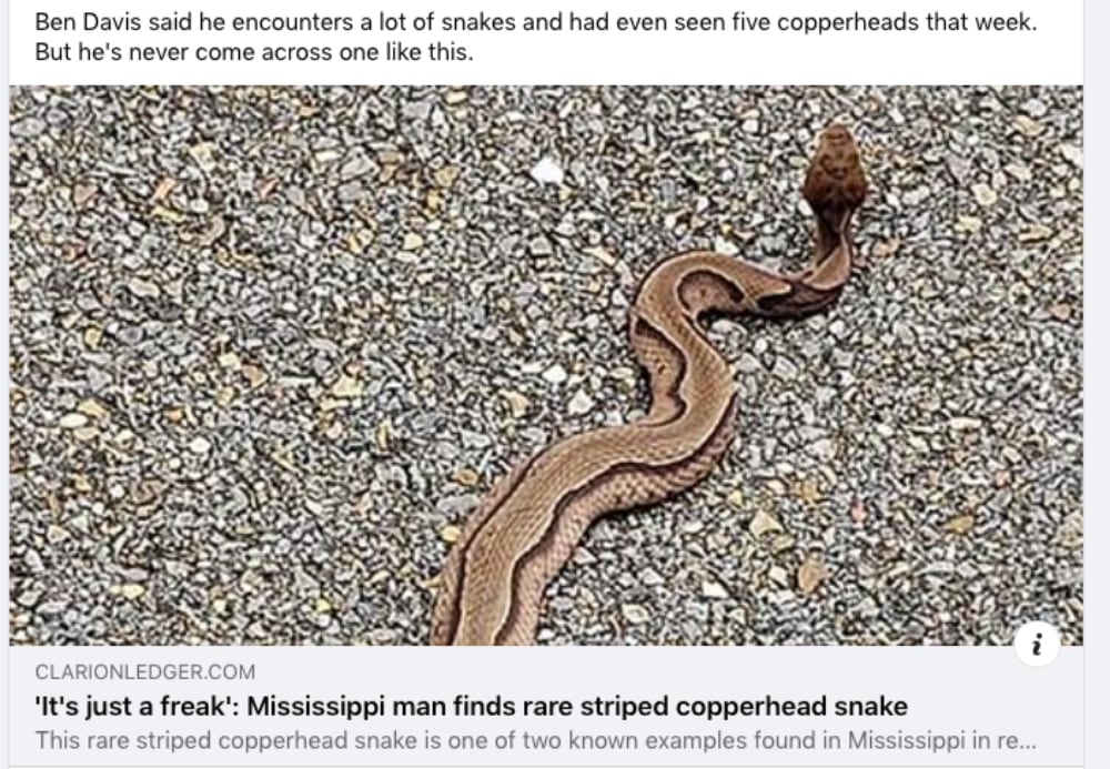 Rare Striped Copperhead Photographed In Mississippi And Image Goes Viral