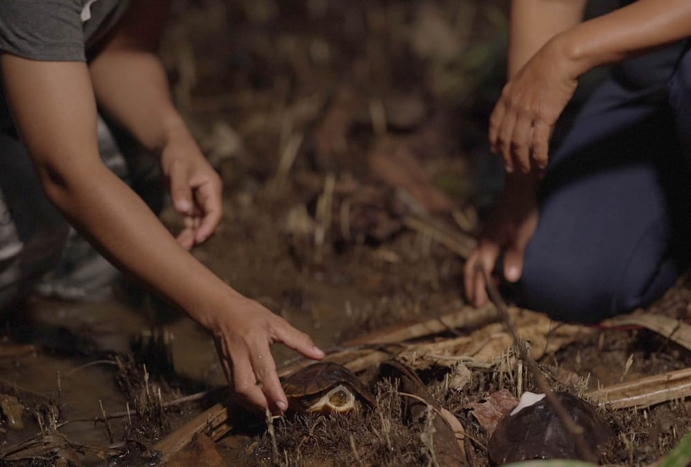 Two Palawan Forest Turtles Released Into The Wild