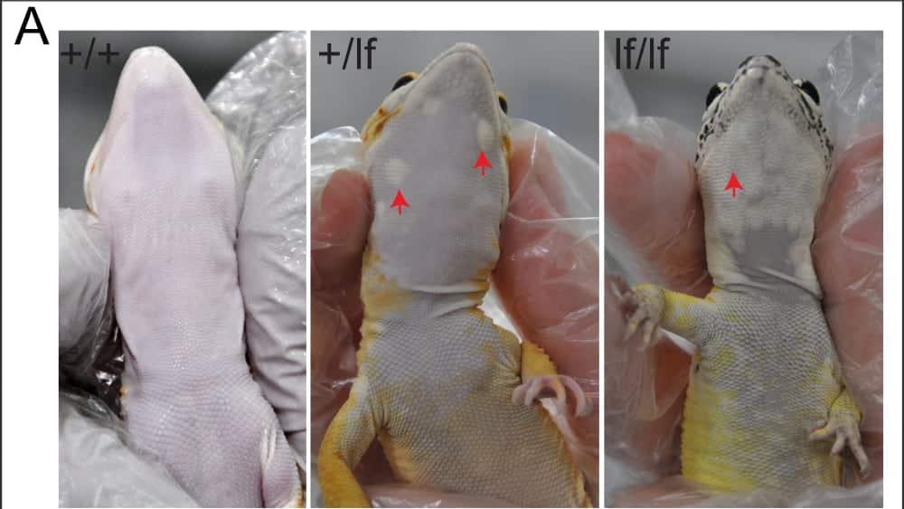 Lemon Frost Leopard Gecko Morph Spurs Cancer Clues