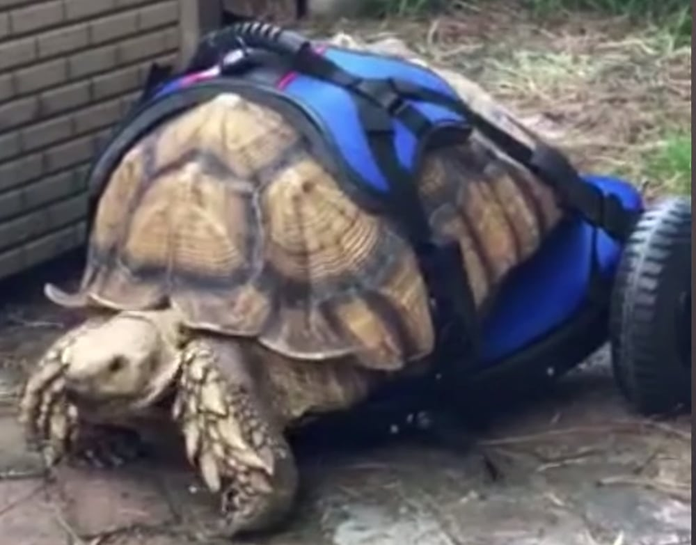 Sulcata Tortoise Suffering From MBD Gets Mobile With Aid of Custom Wheelchair