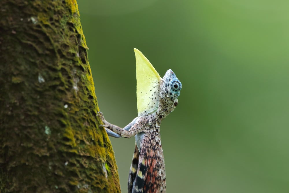 Lizards From Different Parts Of World Evolved With Same Communication Skills