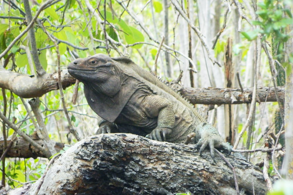 An Inside Look at the Program Protecting the Critically Endangered Anegada Iguanas