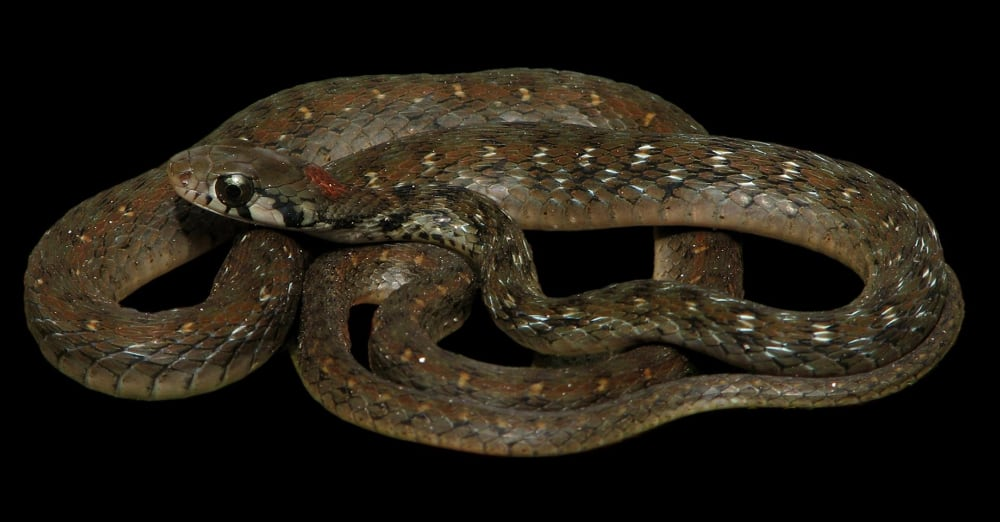 New Species Of Keelback Snake Discovered In India