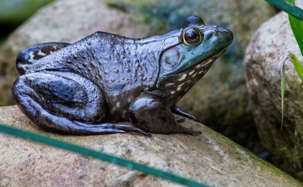 Five Great Beginner Pet Frogs
