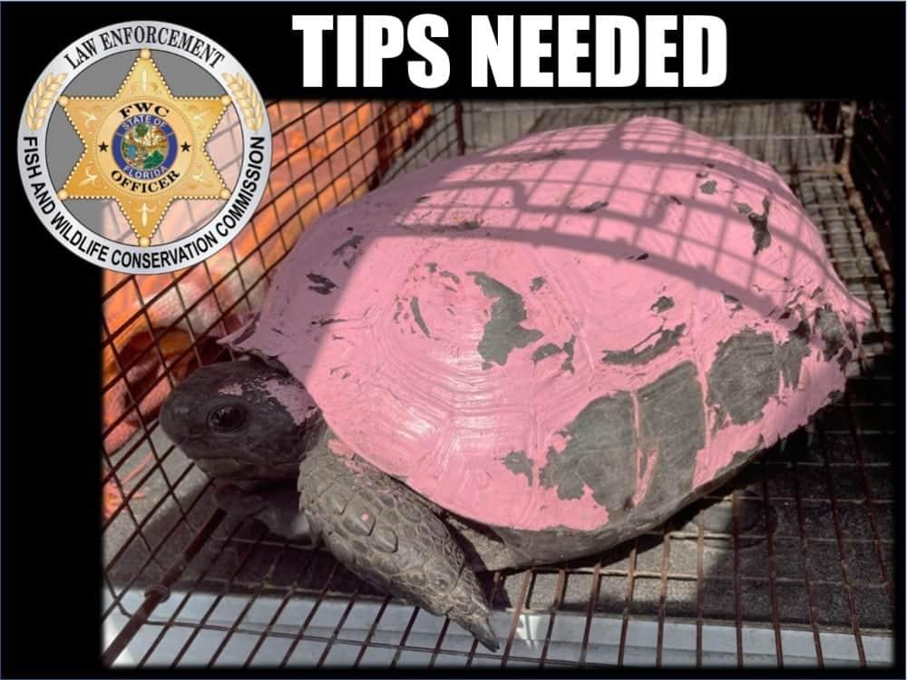 Gopher Tortoise Painted Pink, Florida FWC Seeking Culprit