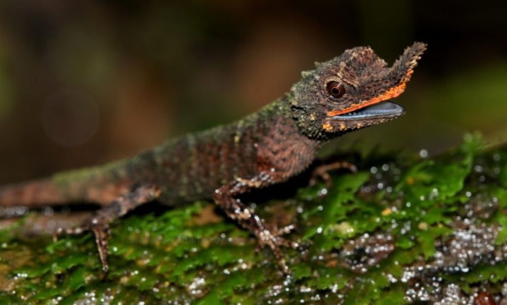 Rough-nosed Horned Lizards Separated Into Four Distinct Groups