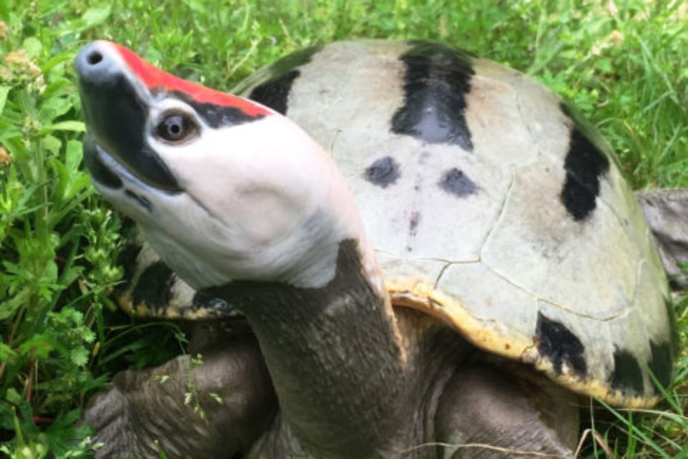 Houston Zoo Hatches Four Painted Terrapins