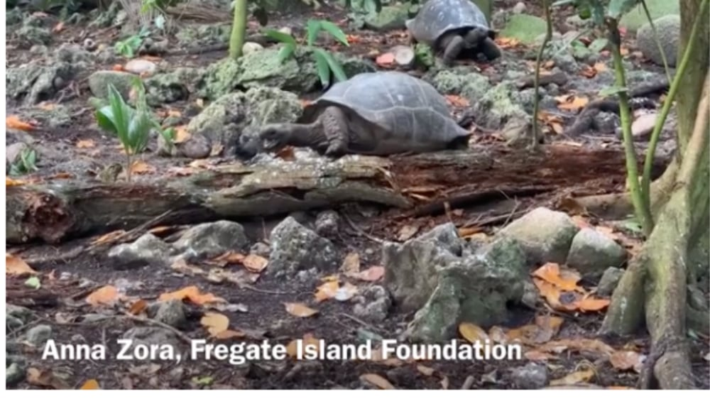 Video: Seychelles Giant Tortoise Hunts And Eats Bird