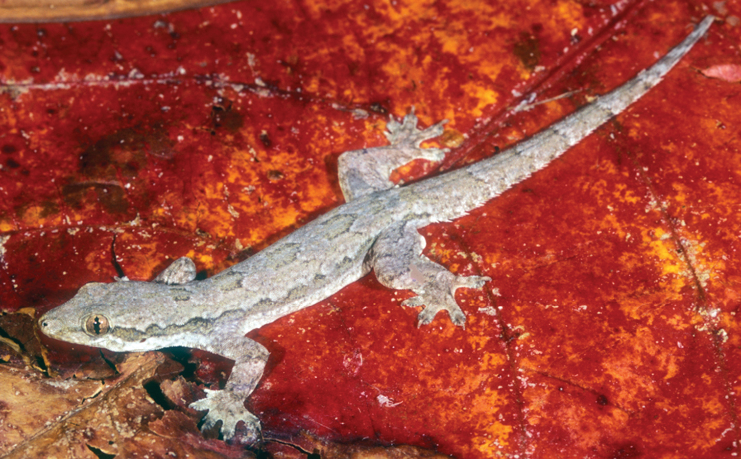 Gliding Geckos Smash Into Tree Trunks Head First Then Stabilize Using Their Tails