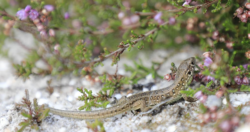 140 Sand Lizards Released Into The Wild In The UK