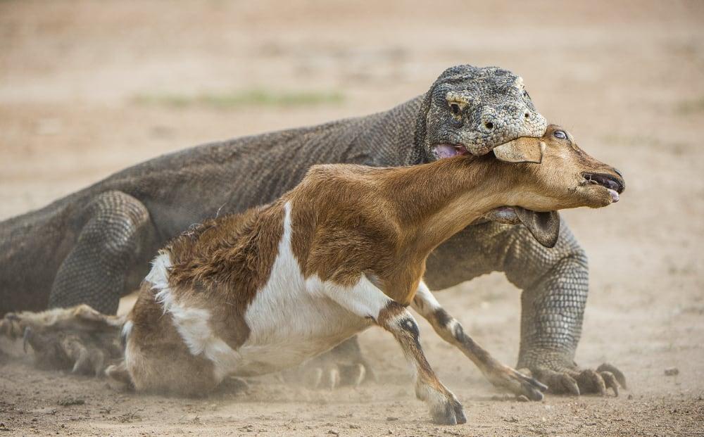 Listing Komodo Dragon As Endangered Based On Assumption, Should Be Reassessed