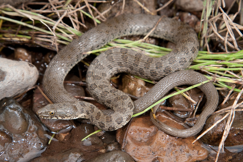 Narrow-headed And Northern Mexican Garter Snakes To Receive Critical Habitat