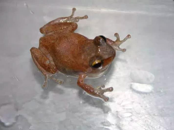Invasive Coqui Frog Found On Molokai Island, Hawaii