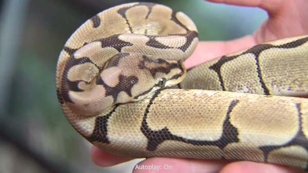 Man Tries To Steal Ball Python From Florida Pet Store And Gets Caught