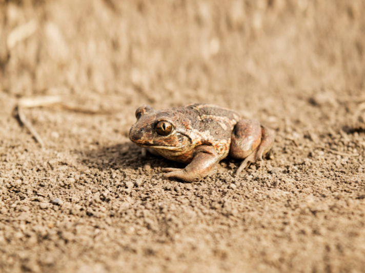 Toads Avoid The Toad Tunnel And Cross Road In Canada Instead