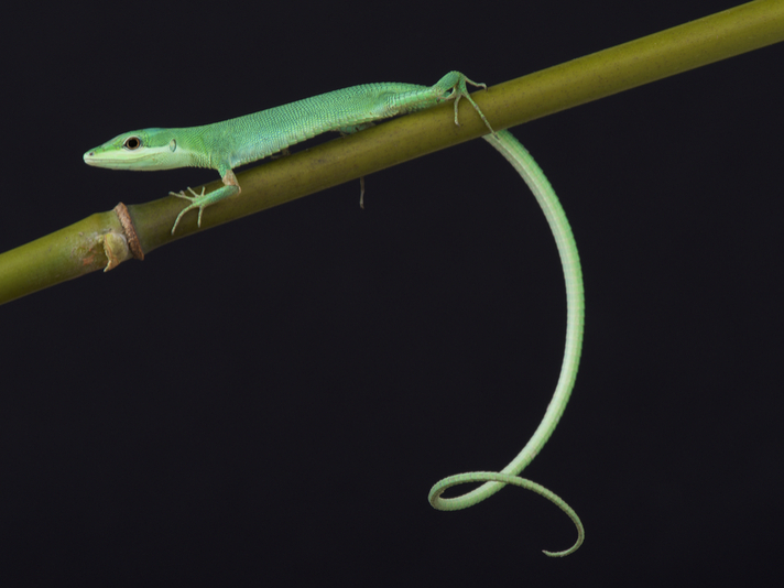 Long-tailed And Emerald Grass Lizard Care Tips And Information