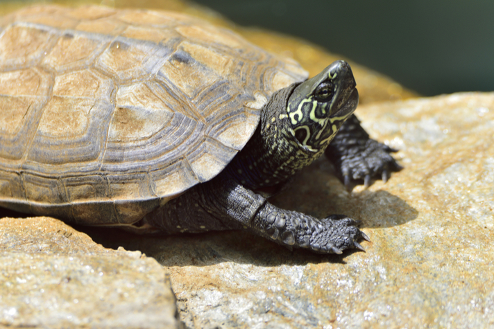 Reeve's Turtle Care Sheet