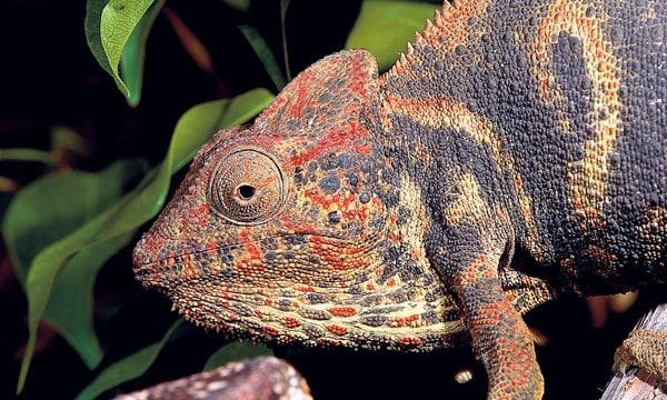 Oustalet's Chameleon Care and Breeding