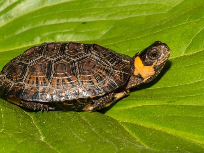 Bog Turtle Information