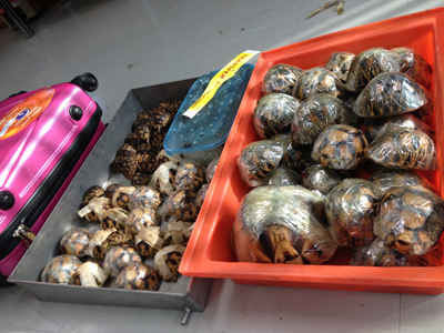 Thai Smugglers Captured With An Estimated 14 Percent Of Ploughshare Tortoises Population