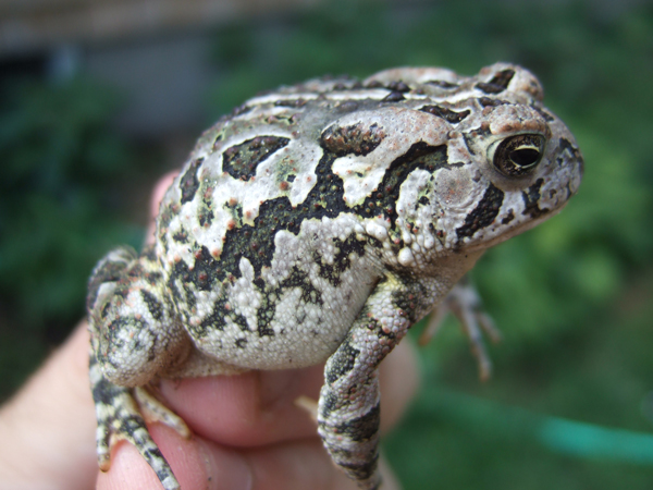 Natural History And Captive Care Of The Fowler's Toad