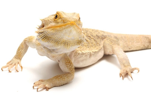 Lost Bearded Dragon Turns Up Safe 10 Days Later