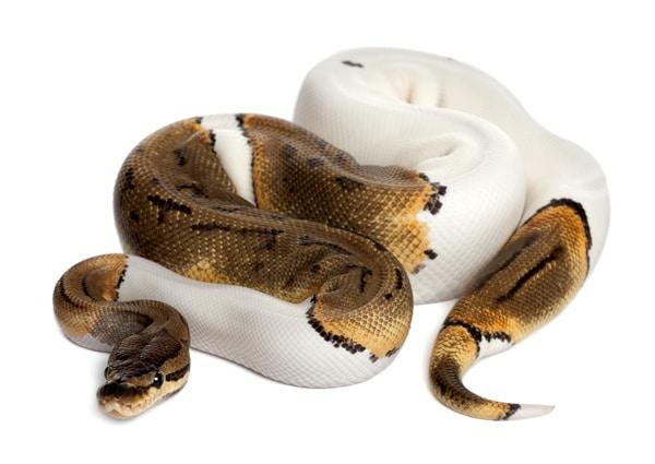 A Crash Course In Reptile Genetics