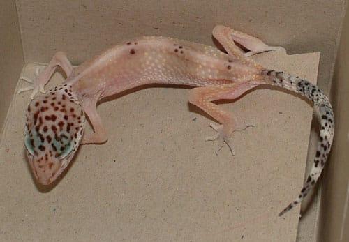 """Stick Tail """"Disease"""" in Leopard Geckos"""