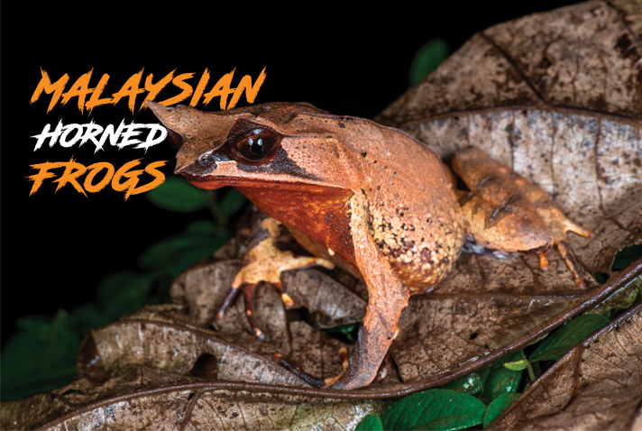Malaysian Horned Frog Care And Breeding Tips