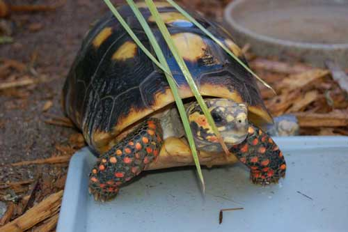 Red-Footed Tortoise Care Sheet