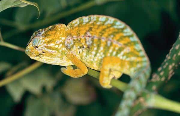 Carpet Chameleon Care Tips