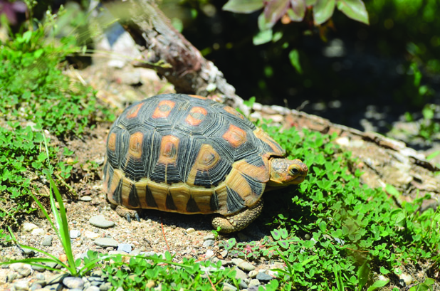 The Angulate Tortoise Of South Africa