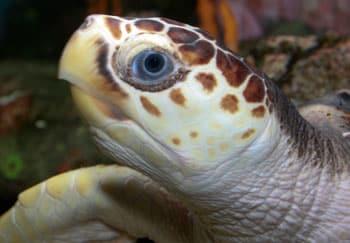 Proposal Submitted To Designate Critical Habitat For The Loggerhead Sea Turtle