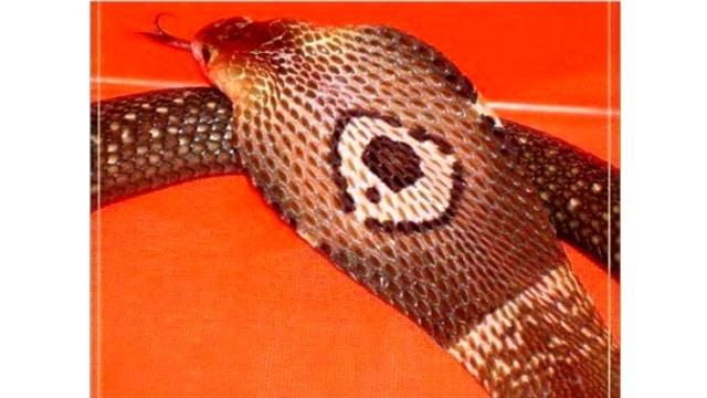 Florida Owner of Escaped Cobra in Plea Deal, Sells All Venomous Snakes