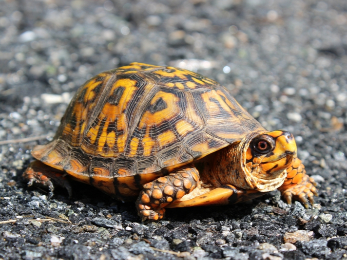 Louisiana Man Charged With Illegally Trading Box Turtles