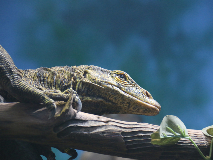 Gray's Monitor Lizard Makes its Home at the San Diego Zoo