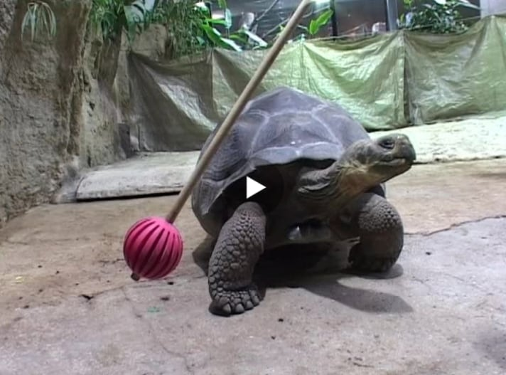 Giant Tortoises Have Good Memories