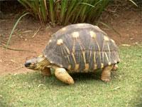Tortoise Faces Extinction