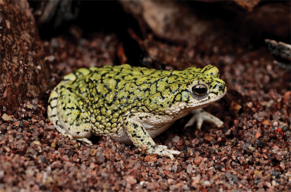 Toads Of The United States