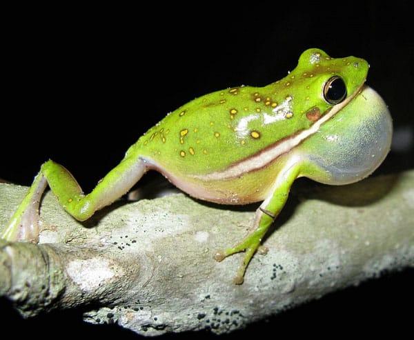 Green Treefrog Care Sheet