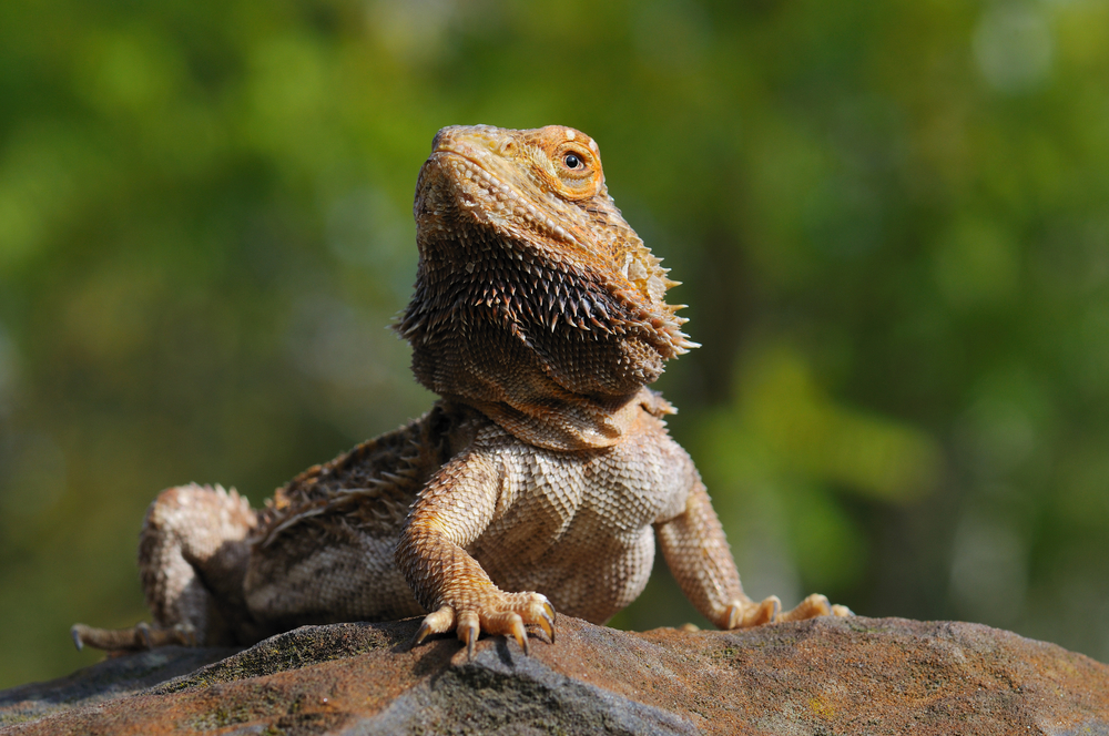 Correct Temperature For A Bearded Dragon