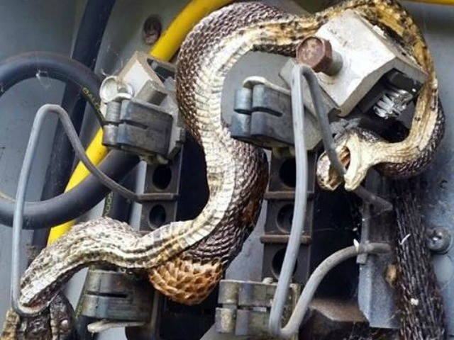 Snake In North Carolina Gets Electrocuted Biting Another Electrocuted Snake