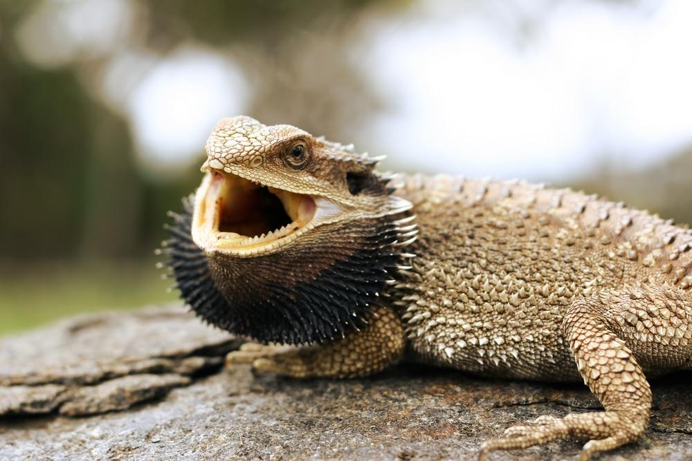 Bearded Dragon Basking Open Mouth