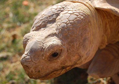 Sulcata Tortoise Care Sheet