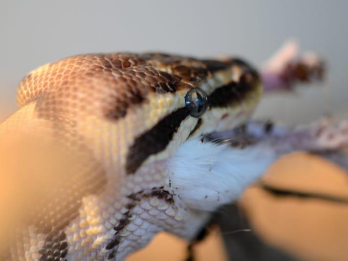 Ball Python Snake Not Eating