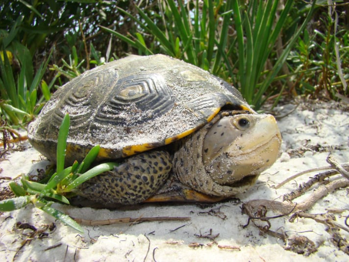 Florida Urged To Require Turtle Excluder Devices For Blue Crab Traps