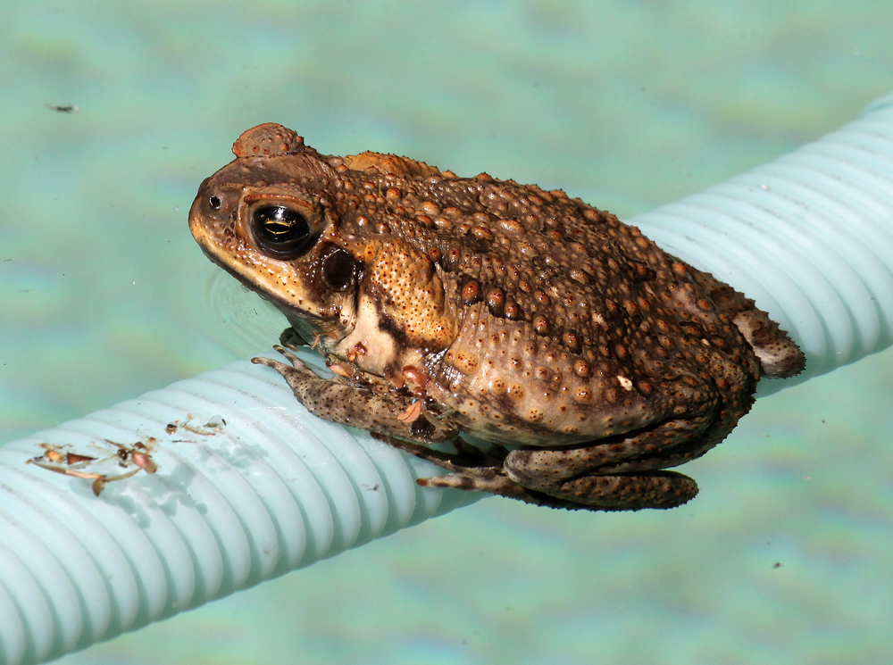 Cane Toad Tadpoles In Australia Cannibalize Younger Tadpoles