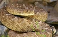 Rattlesnakes Packing More Venom In California