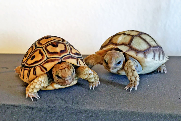 The Leopard Tortoise Of Africa